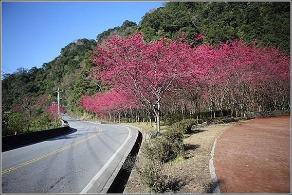 武陵農場櫻花季 (1)