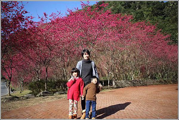 武陵農場櫻花季 (2)