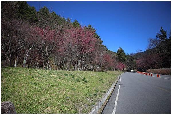 武陵農場櫻花季 (4)