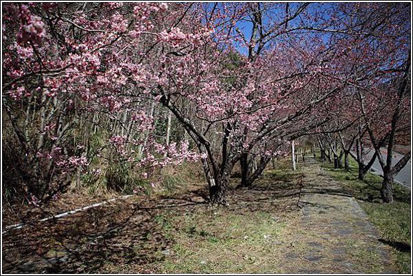 武陵農場櫻花季 (6)