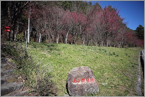 武陵農場櫻花季 (5)