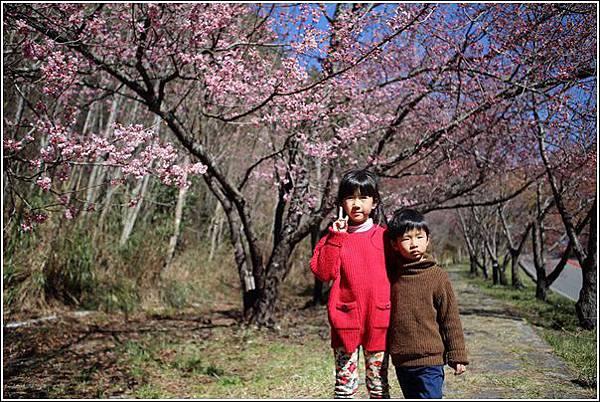 武陵農場櫻花季 (7)