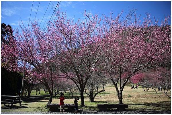武陵農場櫻花季 (8)