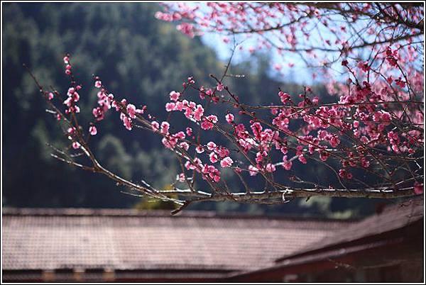 武陵農場櫻花季 (9)