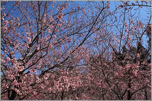 武陵農場櫻花季 (18)