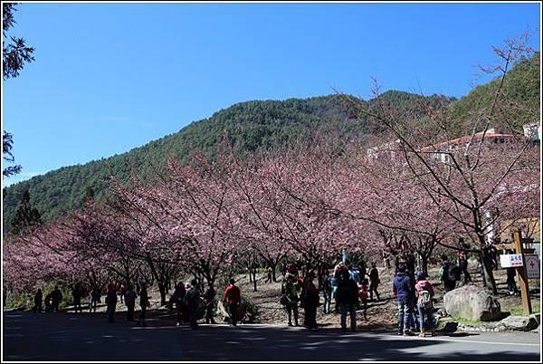武陵農場櫻花季 (21)