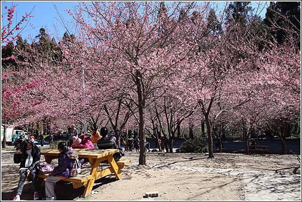 武陵農場櫻花季 (23)