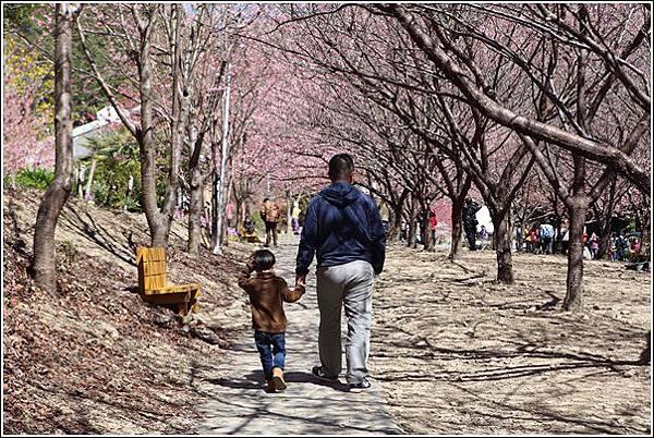 武陵農場櫻花季 (28)