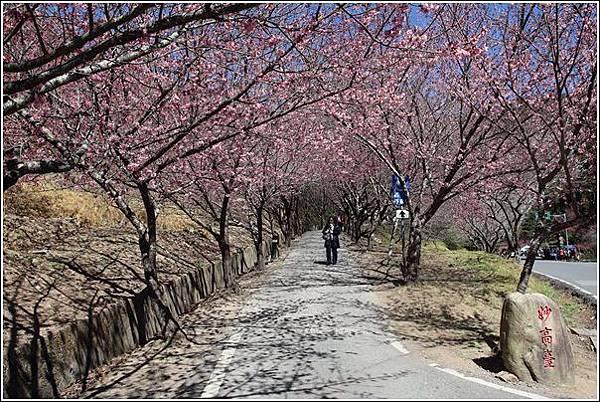 武陵農場櫻花季 (30)