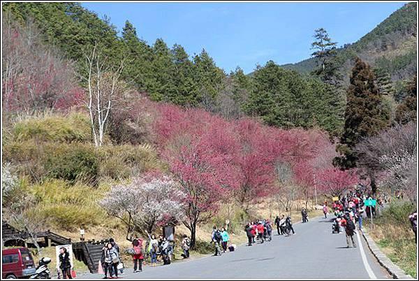 武陵農場櫻花季 (31)