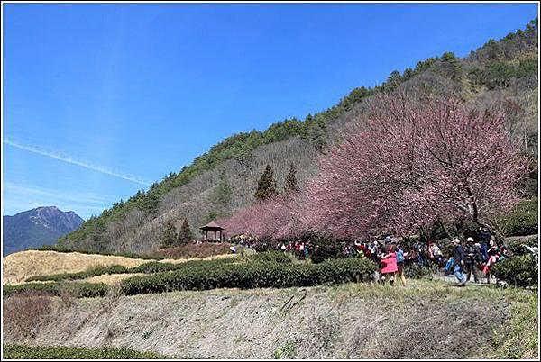 武陵農場櫻花季 (33)