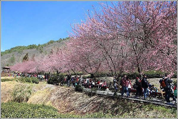 武陵農場櫻花季 (34)