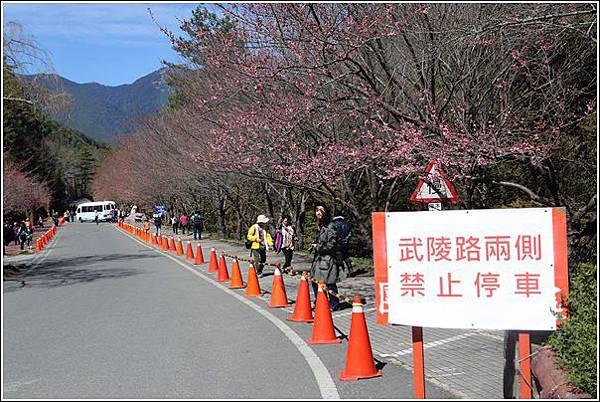 武陵農場櫻花季 (37)