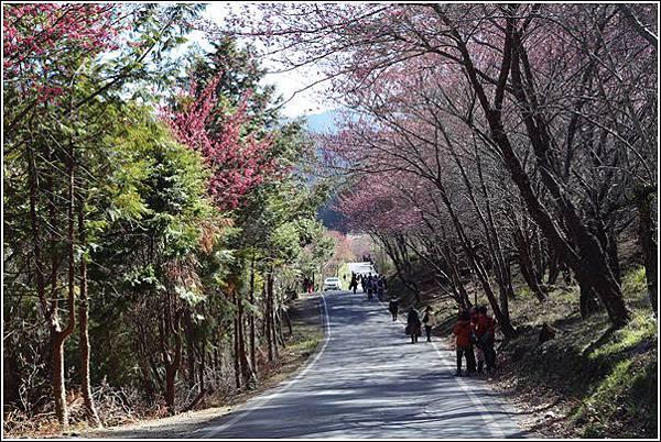 武陵農場櫻花季 (43)