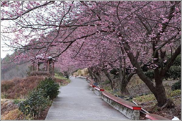 武陵農場櫻花季 (69)