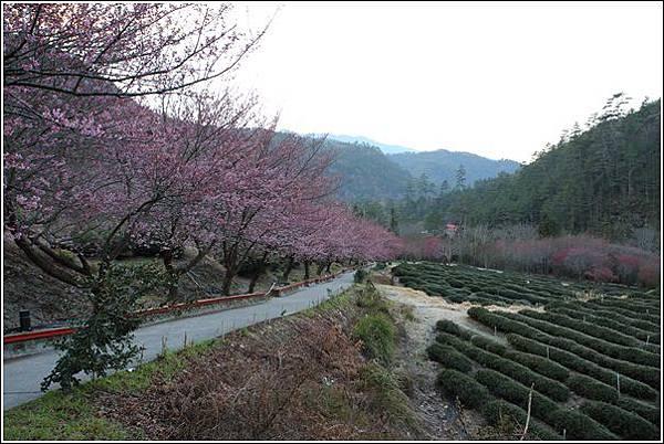 武陵農場櫻花季 (73)