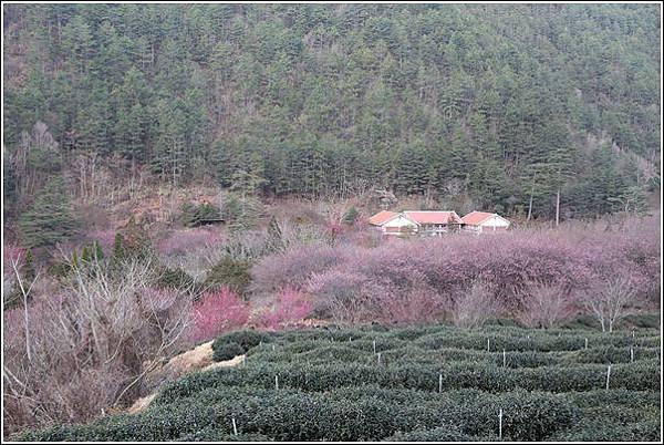 武陵農場櫻花季 (79)