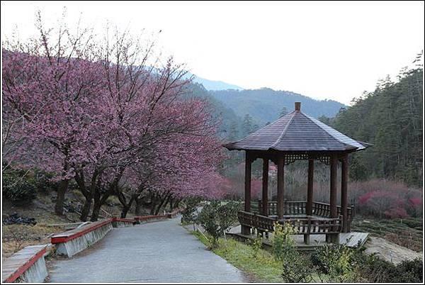 武陵農場櫻花季 (78)