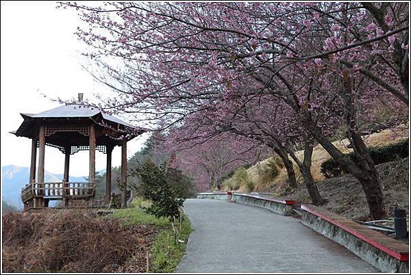 武陵農場櫻花季 (80)