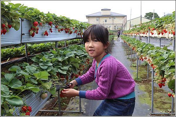 大湖採草莓 (6)
