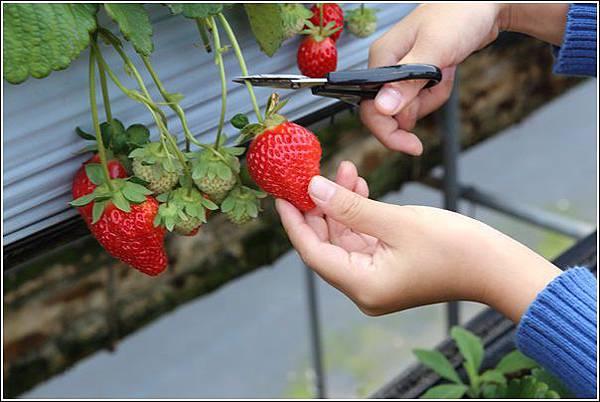 大湖採草莓 (8)