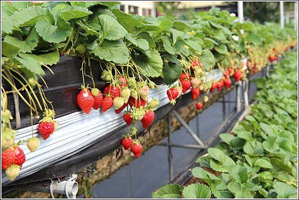 大湖採草莓 (11)