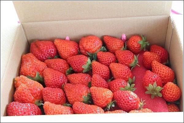 大湖採草莓 (15)