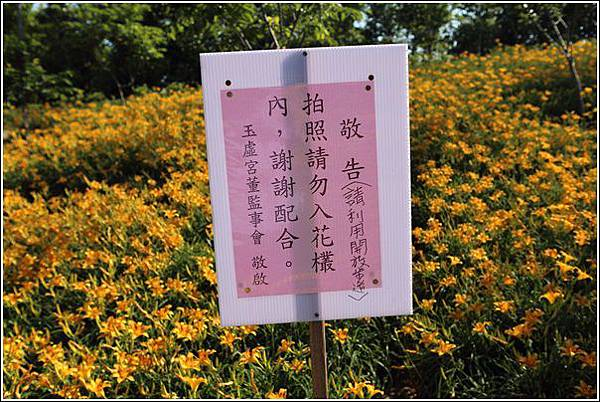 橫山屏金針花海 (9)