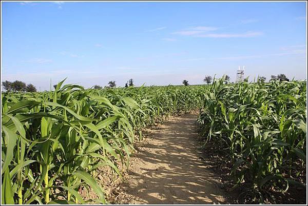 義竹玉米迷宮 (19)