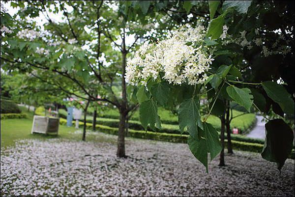銅鑼油桐花 (1)