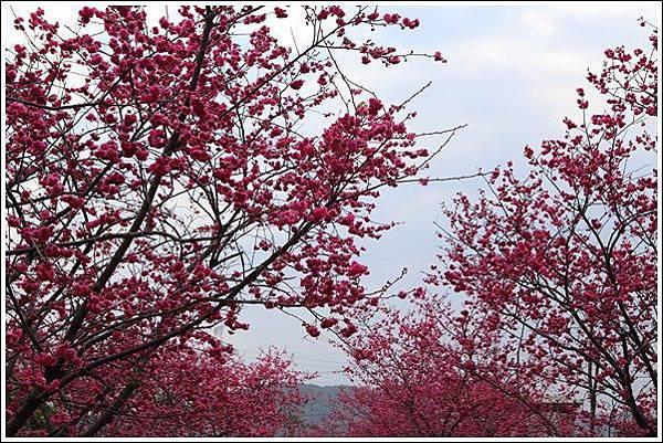 泰安櫻花季 (27)
