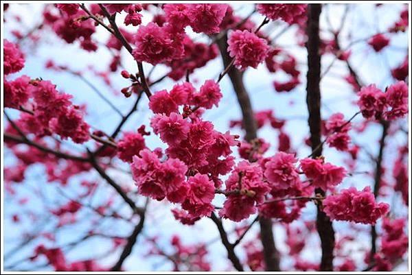 泰安櫻花季 (30)