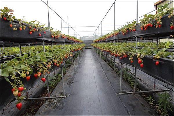 泰安採草莓 (3)