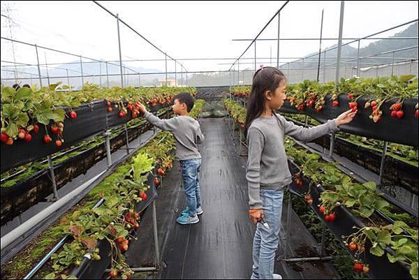 泰安採草莓 (4)