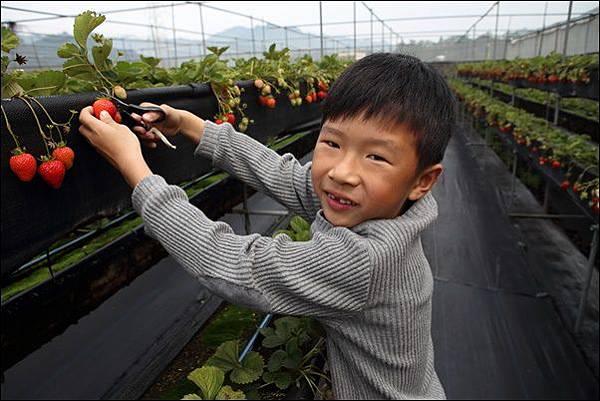 泰安採草莓 (5)