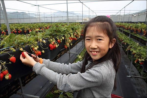 泰安採草莓 (6)