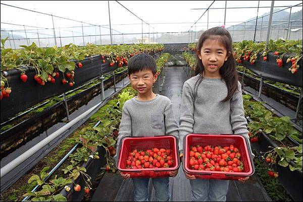 泰安採草莓 (7)