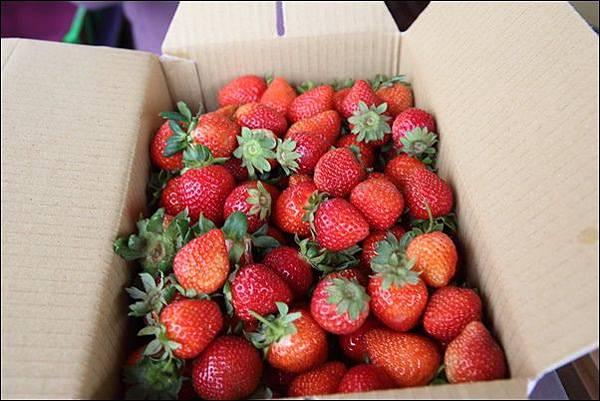 泰安採草莓 (8)