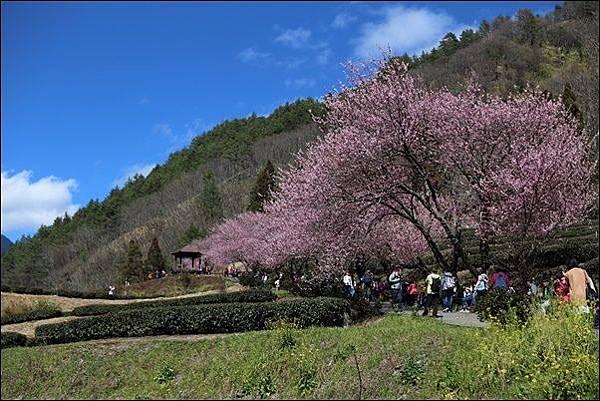 武陵農場櫻花季 (36).jpg