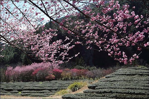 武陵農場櫻花季 (39).jpg
