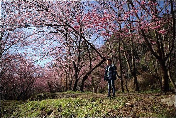 武陵農場櫻花季 (71).jpg