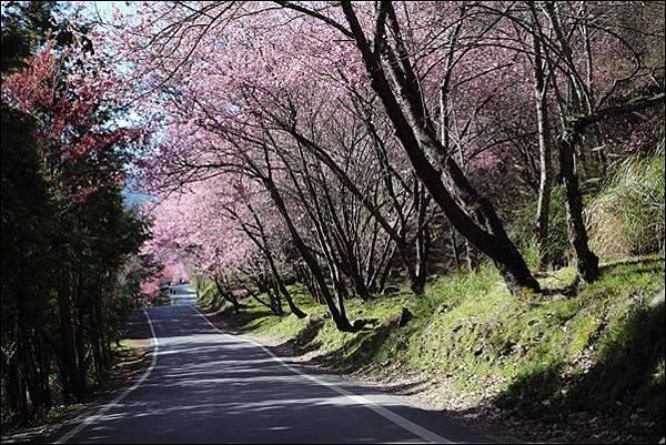 武陵農場櫻花季 (74).jpg