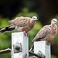 珠頸鳩成鳥