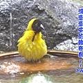 洗澡中的織布鳥>w<////