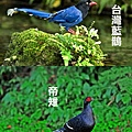台灣藍鵲和帝雉