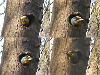 可愛到破表的五色鳥!!>w<////