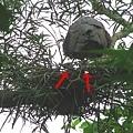 黑冠麻鷺的幼雛~~vv