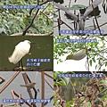2008元旦 植物園賞鳥-1