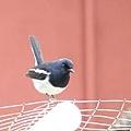 2008元旦 植物園賞鳥-3