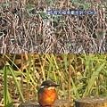 2008元旦 植物園賞鳥-4